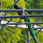 paon, oiseau indien, peacook, india, jardin moghol
