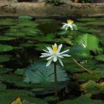 lotus, jardin moghol
